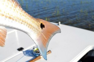 fly fishing for red fish in georgia